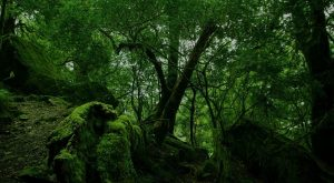 dense forest wallpaper a3 300x165 - dense_forest-wallpaper-a3