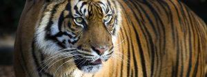 sumatran tiger hero 92514619 300x113 - sumatran-tiger-hero_92514619