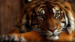 tiger 1 300x171 - tiger_1