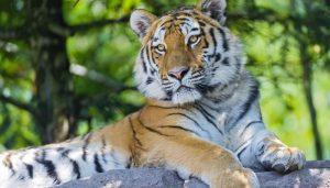tiger 4 300x171 - tiger_4