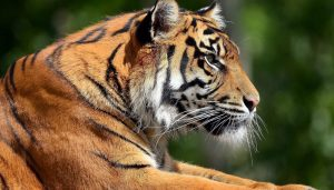 tiger 5 300x171 - tiger_5