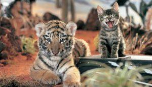 tiger 6 300x171 - tiger_6