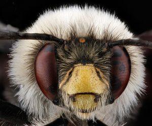 anthophora bomboides bee macro photography wallpaper 2048x1152 a 300x250 - anthophora_bomboides_bee_macro_photography-wallpaper-2048x1152_a